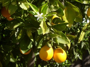 Sweet Orange tree in bloom1