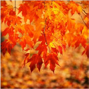 foliage-sugar-maple